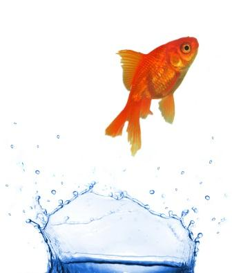 gold fish short attention span