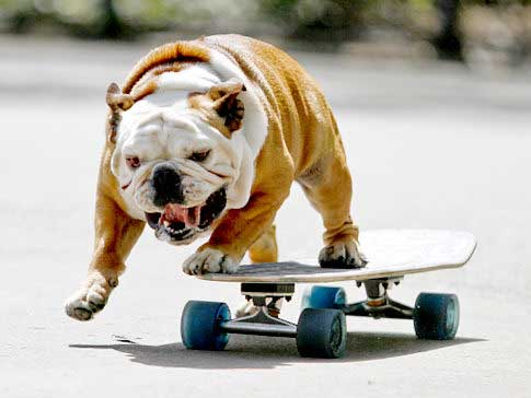 Tillman, the world's fastest skateboarding canine