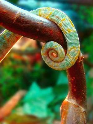 Long tail pro lizard tail